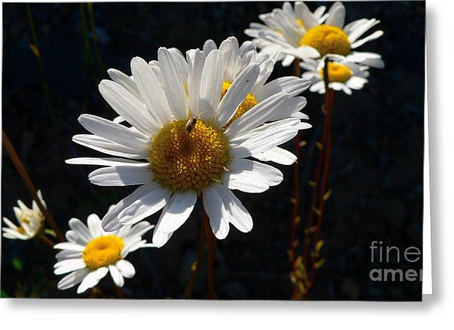 Greeting Card featuring the photograph Mountain Daisy by Larry Keahey