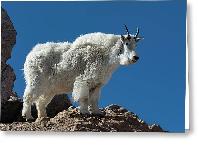 Greeting Card featuring the photograph Mountain Goat 2 by Gary Lengyel