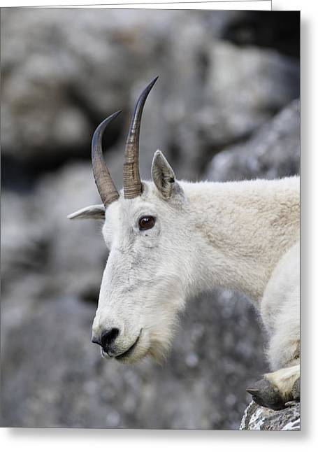Mountain Goat At Rest Greeting Card by Michael Bowland