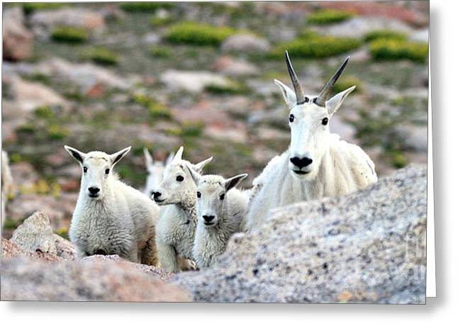 Greeting Card featuring the photograph Mountain Goat Family Panorama by Scott Mahon