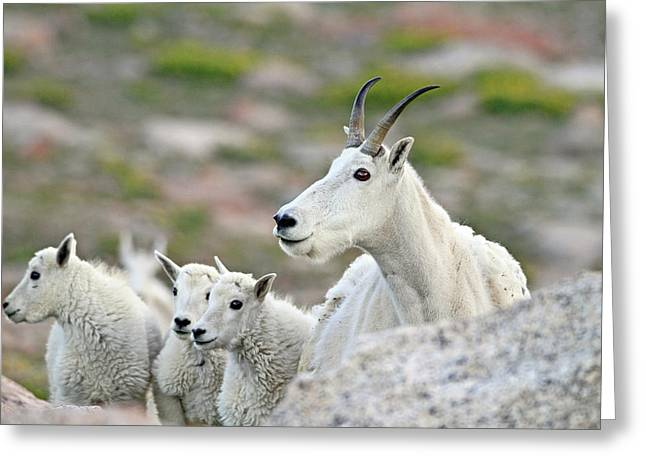 Greeting Card featuring the photograph Mountain Goat Family by Scott Mahon