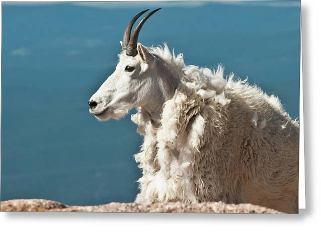 Mountain Goat King Of Mount Evans Greeting Card