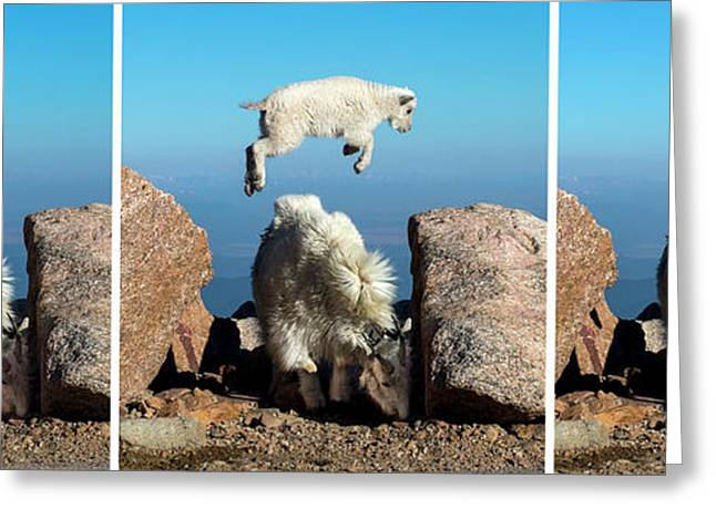 Mountain Goat Leap-frog Triptych Greeting Card