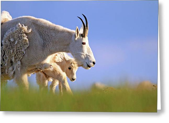 Greeting Card featuring the photograph Mountain Goat Light by Scott Mahon