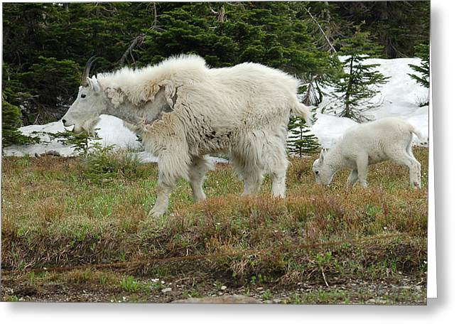 Mountain Goat Mom And Baby Greeting Card by D Nigon