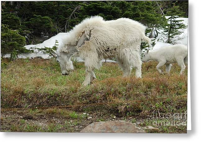 Mountain Goat Mom And Baby II Greeting Card by D Nigon