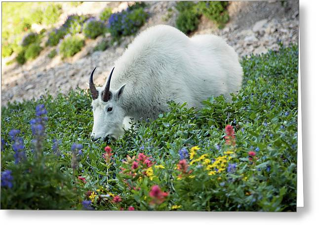 Mountain Goat On Timp Greeting Card