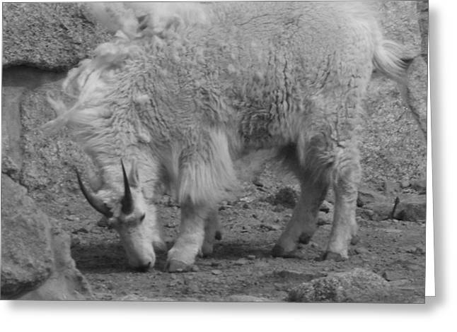 Mountain Goat Greeting Card by Peter  McIntosh