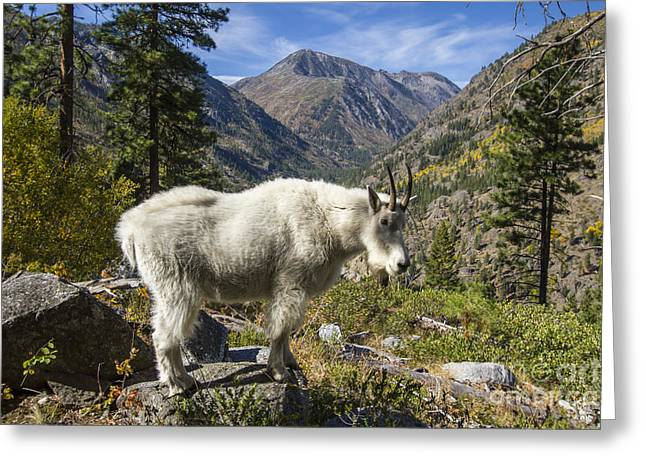 Mountain Goat Sentry Greeting Card