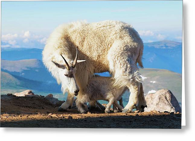Mountain Goats Nanny And Kid Greeting Card