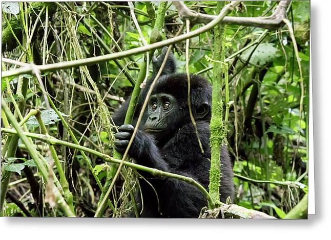 Mountain Gorilla Youth, Bwindi Impenetrable Forest National Park Greeting Card