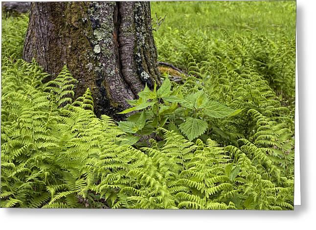Mountain Green Ferns Greeting Card