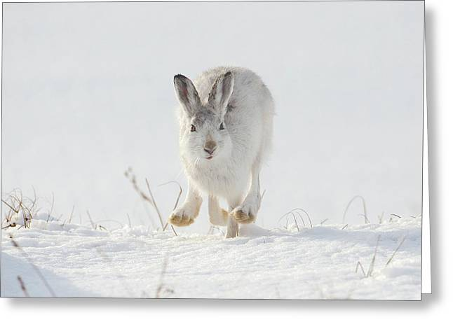Mountain Hare Approaching Greeting Card