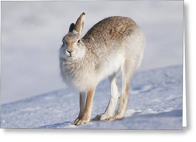 Mountain Hare In The Snow - Lepus Timidus  #2 Greeting Card