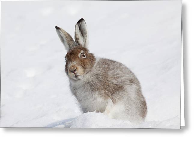 Mountain Hare In Winter Greeting Card