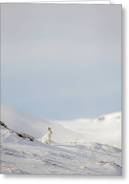 Mountain Hare On Hillside Greeting Card