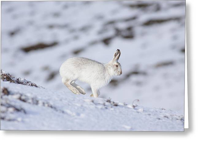 Mountain Hare - Scottish Highlands  #12 Greeting Card
