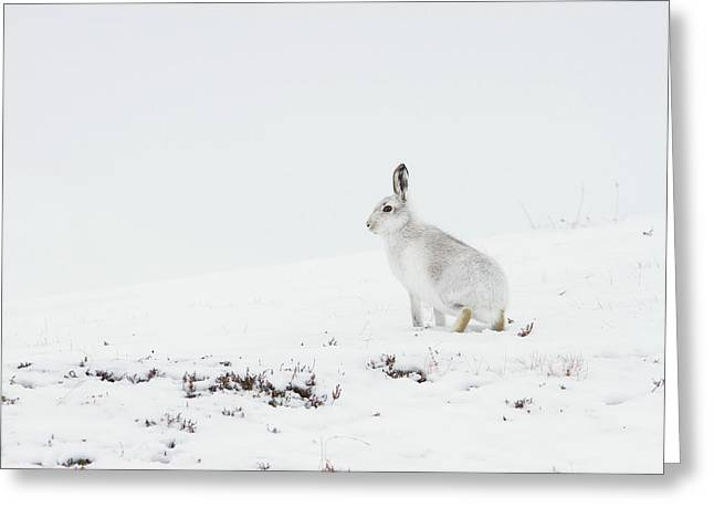 Mountain Hare Side On Greeting Card