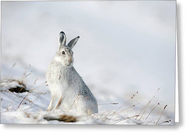 Mountain Hare Sitting In Snow Greeting Card