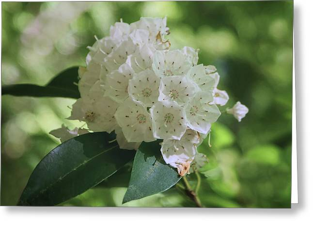 Greeting Card featuring the photograph Mountain Laurel - Spring by Nikolyn McDonald