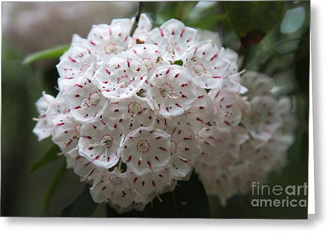 Mountain Laurels Greeting Card by Andy Miller