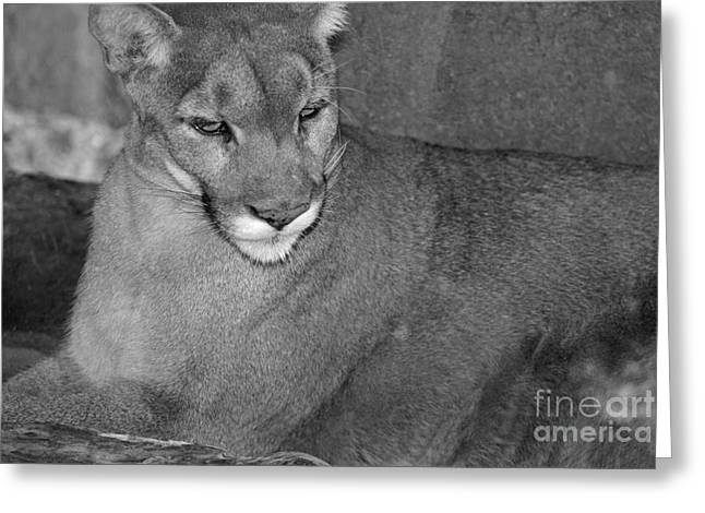 Mountain Lion - Sonoran Desert Museum  Greeting Card by Donna Greene