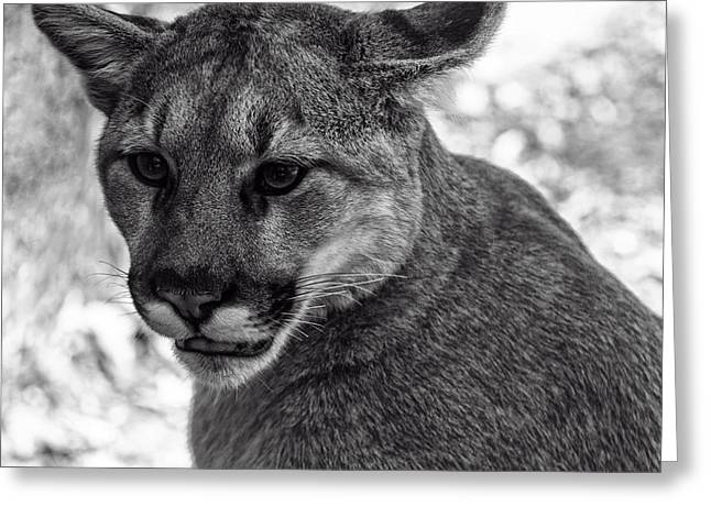 Mountain Lion Bw Greeting Card by Chris Flees
