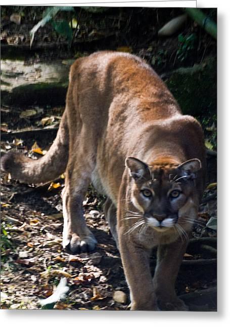 Mountain Lion Greeting Card by Douglas Barnett