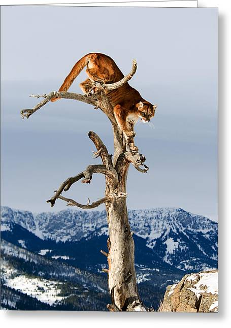 Mountain Lion In Tree Greeting Card