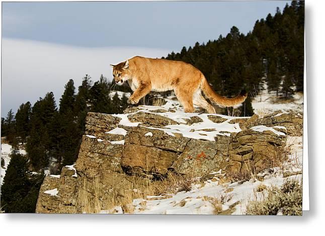 Mountain Lion On Rocks Greeting Card