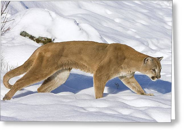 Mountain Lion Puma Concolor Hunting Greeting Card by Matthias Breiter
