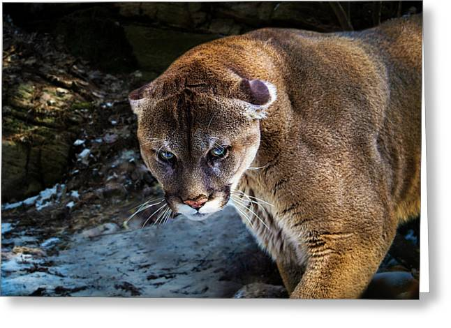 Mountain Lion Stare Down Greeting Card