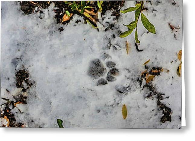 Mountain Lion Tracks In Snow Greeting Card