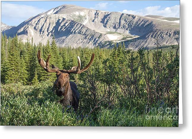 Mountain Moose Greeting Card