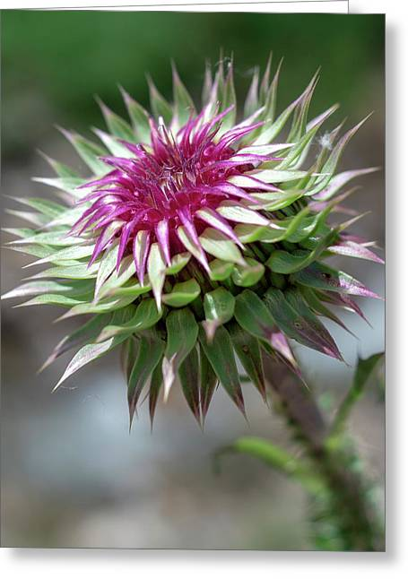 Mountain Thistle Greeting Card