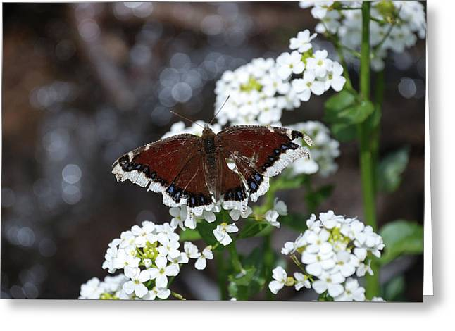 Greeting Card featuring the photograph Mourning Cloak by Jason Coward