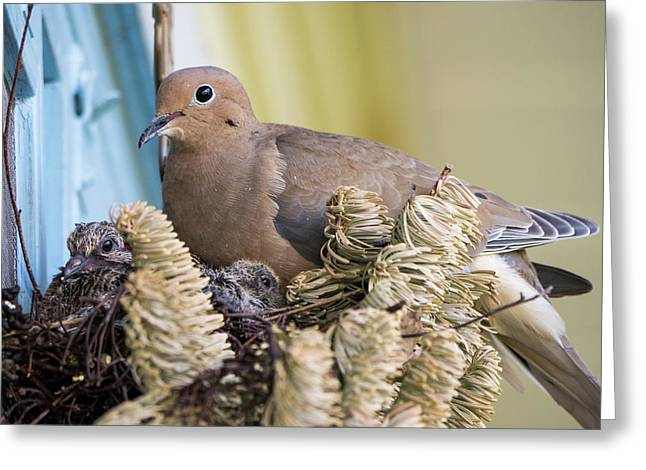 Mourning Dove And Chicks 2 Greeting Card by Steven Ralser