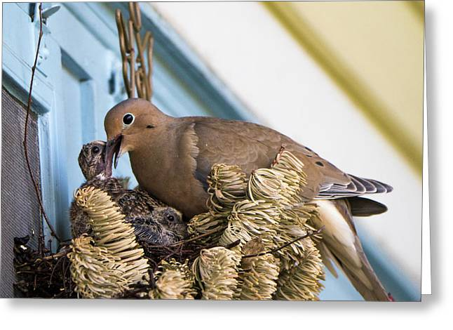 Mourning Dove And Chicks 3 Greeting Card by Steven Ralser