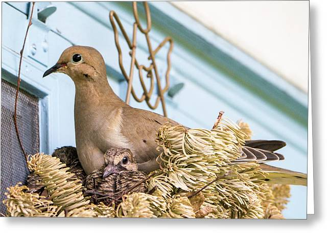 Mourning Dove And Chicks 4 Greeting Card by Steven Ralser