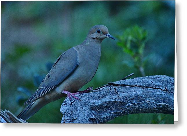 Mourning Dove Early Evening Shot Greeting Card by Linda Brody