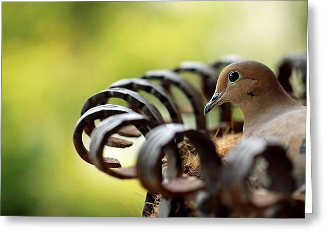 Mourning Dove In A Flower Planter Greeting Card