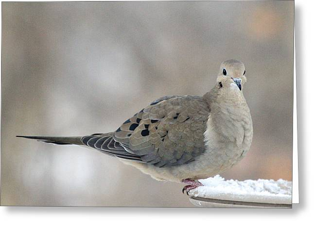 Mourning Dove Looks Me In The Eye Greeting Card by Laurie With