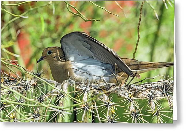 Mourning Dove On Nest Greeting Card by Tam Ryan