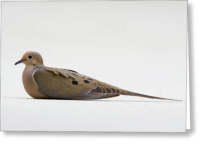 Mourning Dove Greeting Card by Shelly OBrien