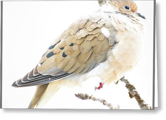 Mourning Dove, Snowy Morning Greeting Card