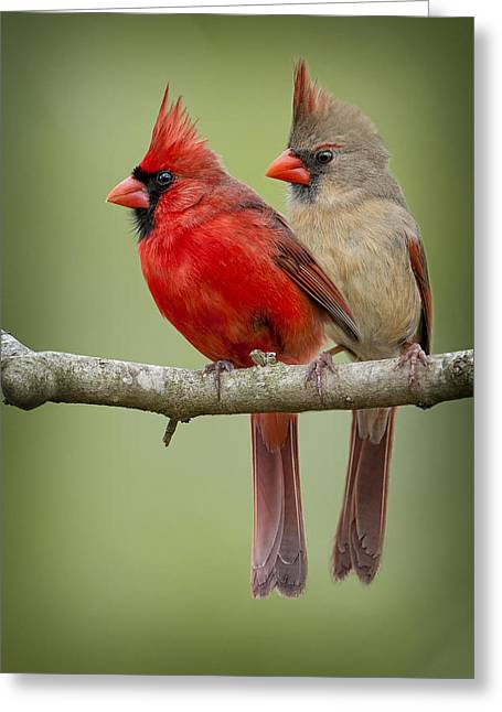 Male Northern Cardinal Greeting Cards - Mr. and Mrs. Northern Cardinal Greeting Card by Bonnie Barry