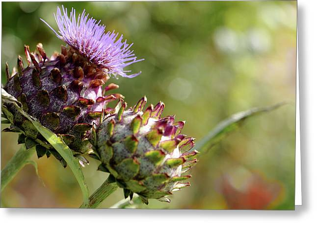 Mr And Mrs Thistle  Greeting Card by Jeremy Lavender Photography