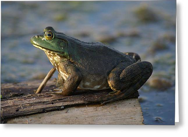 Greeting Card featuring the photograph Mr. Bullfrog by Heidi Poulin