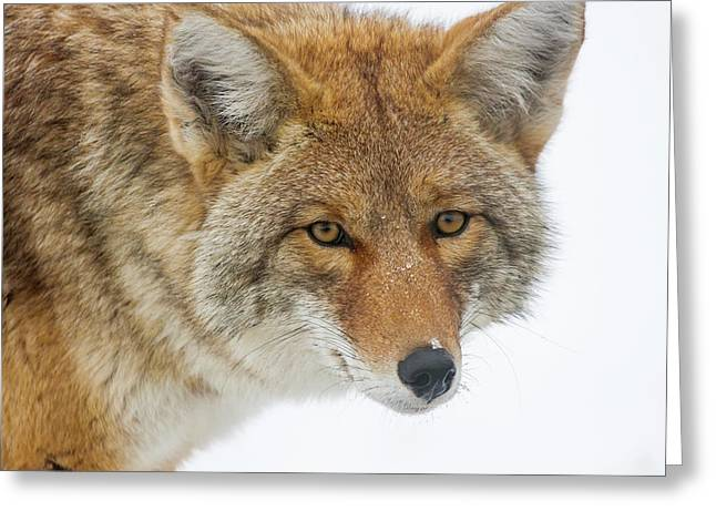 Mr. Coyote Greeting Card