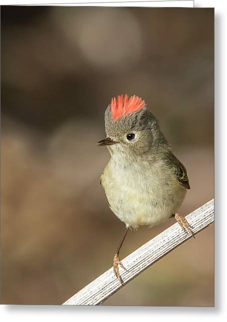 Greeting Card featuring the photograph Mr Kinglet  by Mircea Costina Photography